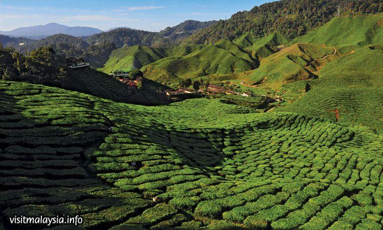 เที่ยวมาเลเซีย ชมไร่ชาที่ใหญ่ที่สุดที่ Cameron Highlands